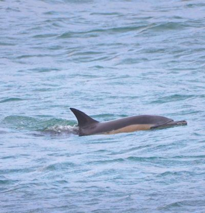 Red deer, basking sharks, minke, whales, orcas, dolphins, porpoises and otters are all to be seen in a visit to Harris and Lewis, Scotland.