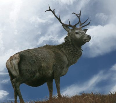 Morsgail Estate, a superb sporting estate on the stunning west coast of Lewis. Monarch stag