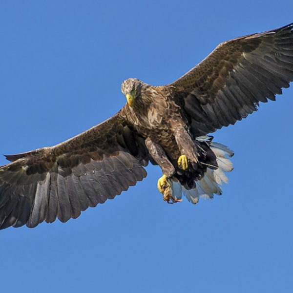 Golden Eagle flying high in Isle of Harris, Outer Hebrides